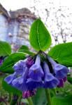 Sporing – bluebells