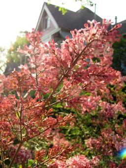 BBInn - Lilacs